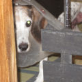 縄張り意識が強い大きい犬同士