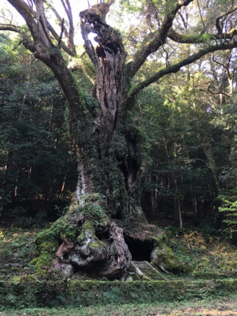 樹高30m、根周り26m、枝張りは東西30m、南北33m 全国巨木第6位の堂々たる姿です。