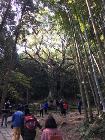 竹林の奥に、「武雄の大楠」が見えてきました。