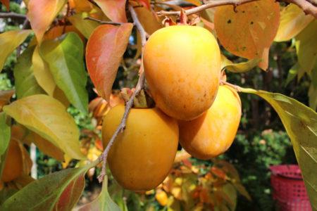 干し柿は、これから作って年の暮れに送るそうです。