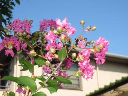 百日紅(サルスベリ)の花