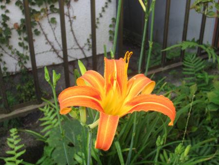 橙色が美しいノカンゾウ