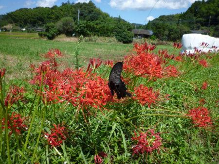 所々に真っ赤な彼岸花が咲いていましたが、まだまだつぼみがたくさん。彼岸花も、祭りに合わせて準備をしているようでした。