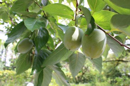 松屋さんの柿も、もうすぐ色づき始める