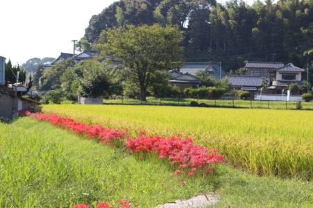 周りの田園は、稲穂が黄金色に垂れ、彼岸花の赤の色とのコントラストがとてもきれい。