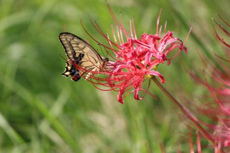 蝶が彼岸花の蜜を喜んで吸っている姿をあちこちで見かけました。