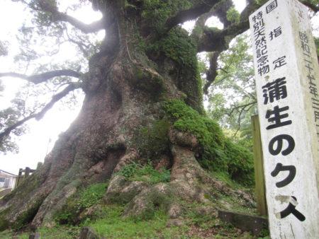 答えは、鹿児島県の「蒲生の大楠」です。