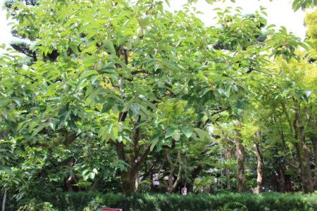 9月末の松屋の柿の木の様子