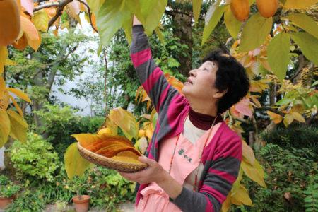11月15日の午前中、栗原さんは、柿の葉を選びながら一枚一枚丁寧に取っていきます。