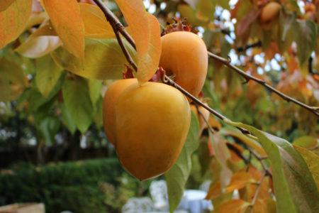 そして、2か月近くたった11月15日に訪れると、葉は美しく赤に色づき、実もきれいな橙色に変わっていました。
