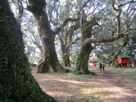 樹齢800年以上の大クスが連なる巨楠の森です