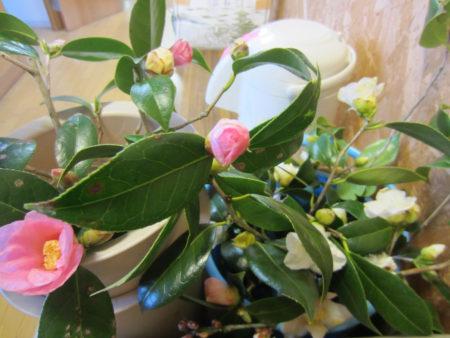 奥様が用意して下さった椿の花…