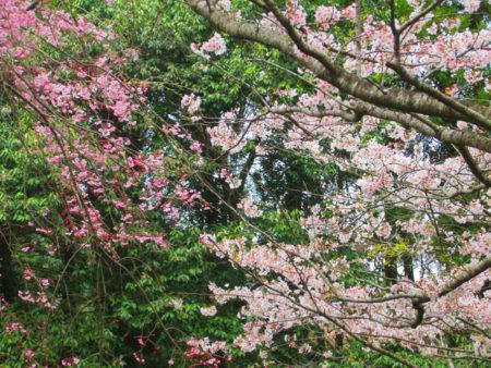 枝ぶりの立派な歴史ある桜を見上げながらの