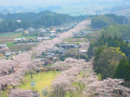 参道から見下ろす桜並木