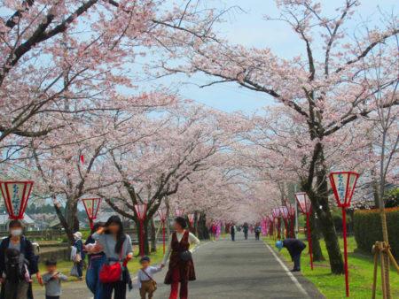 2キロの桜並木が続く…
