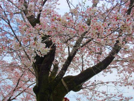 満開の桜と桜吹雪…一年に一度