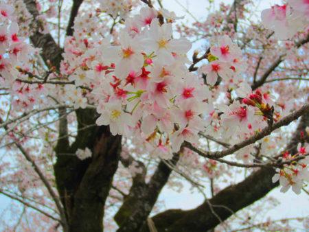 桜にまるごと包まれながら過ごす幸せな時間です。