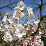 鹿児島の桜開花宣言あり!さっそくお花見にでかけました!