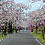 桜・満喫♪日本のさくら名所100選・都城市の母智丘(もちお)公園