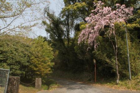 学校沿いの小道には枝垂桜
