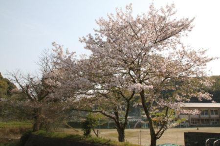 学校の裏手の川沿いから見る桜