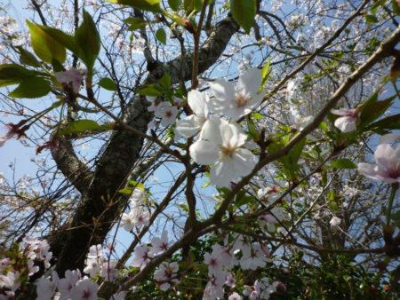 花と若葉と。桜も次へと歩を進めていました。