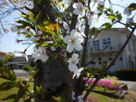 桜は、新しくやってくる子供たちを待っています。