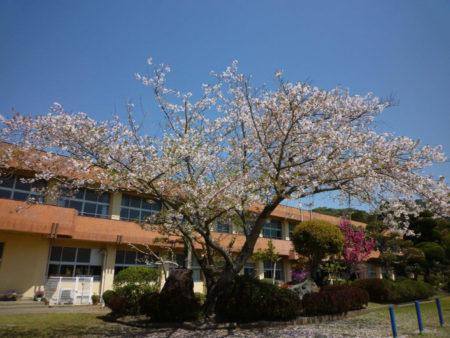 校庭におおきな桜の木が