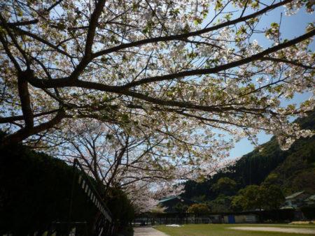 桜に集まる蜂の羽音だけがきこえていました。