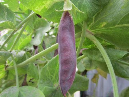 実家で育てられているツタンカーメン豆