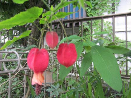 チロリアンランプ どの花も個性的です!