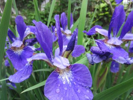 涼やかな青紫色が目にも鮮やか