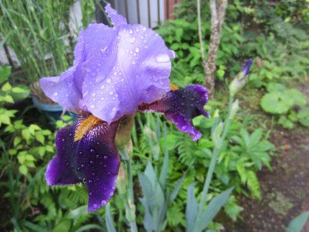 紫色のジャーマンアイリスも咲いています