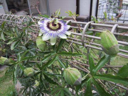 トケイソウもこれから次々に咲き始めます