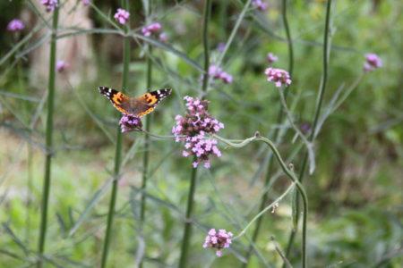 見渡すと、今別府さんが育てた紫陽花やハーブの花が、棚田を彩ります