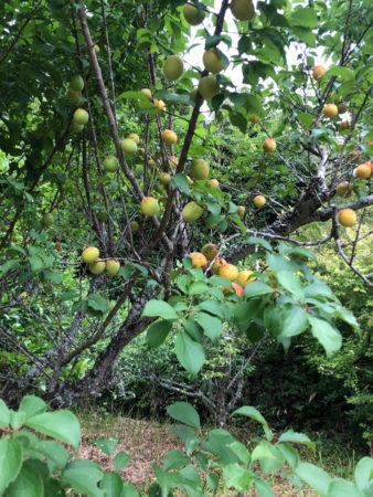 梅が実る時期には、85歳の母も車で1時間半ほどのその山に、梅を取りに行きます。