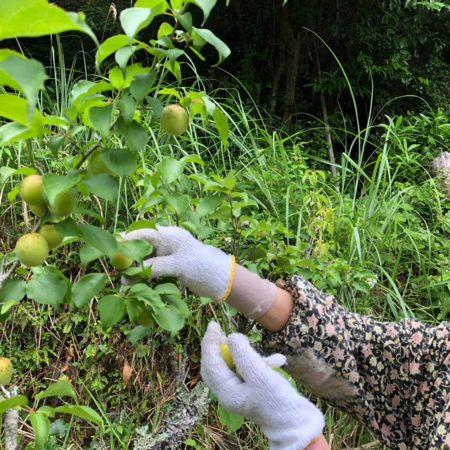 実家の梅は、田舎の山に植えられています