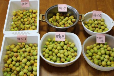 まずは、実を食べる「カリカリ梅」と「甘露煮」用の梅は、その中でも姿のきれいなものを選別。そして、残りの梅を「梅みそ」「梅ジュース」「梅酒」「梅サワー」に分けました。