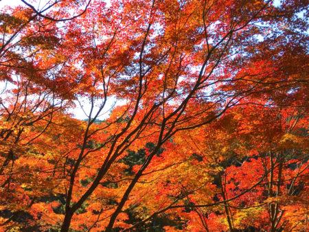 日本は、世界で最も紅葉が美しいと言われているそうです。
