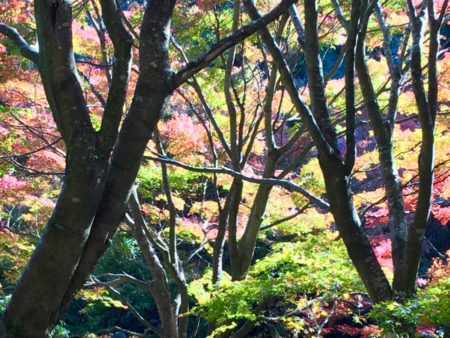 「♪ 秋の夕日に照る山もみじ、濃いも薄いも数ある中に、 松をいろどる楓や蔦は、山のふもとのすそ模様。」
