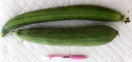 30センチほどの長さになったら、ヘチマを収穫する。