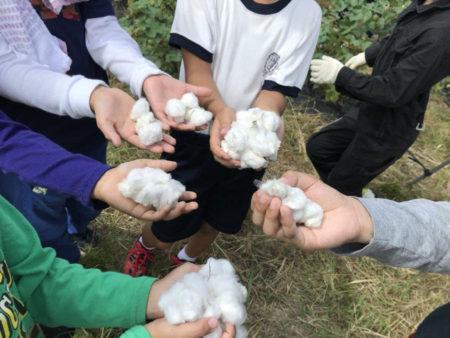 地元の小学生にも綿のことを知ってもらいたいと 収穫体験を実施