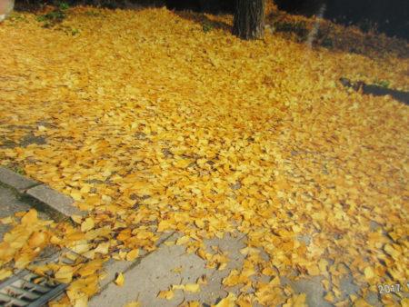 黄金色に輝く季節はもうすぐ…