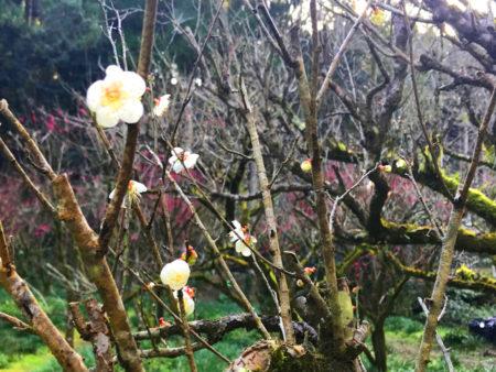 少し遅れて咲く白梅も咲き始めていました。