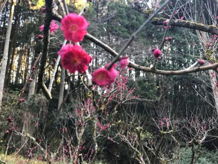 数が少なく珍しい品種の「薩摩紅梅」