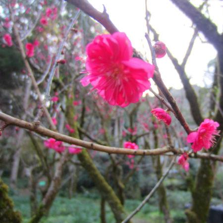梅の開花情報!自然とアートを堪能できる鹿児島市の児玉美術館