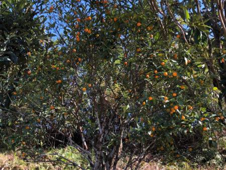 民家に植えられたきんかんの木