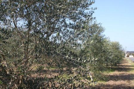およそ600本のオリーブ畑