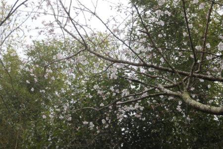 桜がほころんでいました