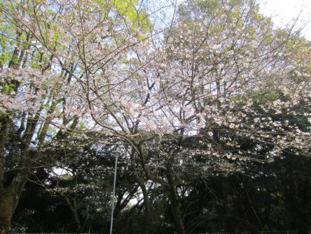 「朝、カーテンを開けると目の前いっぱいに桜が広がってるよ。ここは静かでよく眠れるの。離れたくないよ。」